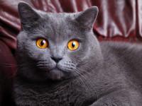 Характер у  британской породы кошек