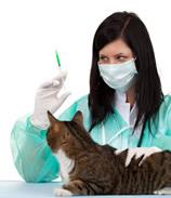 прививки британских котят[1]