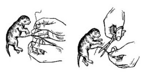 обрезание пуповины у британской кошки