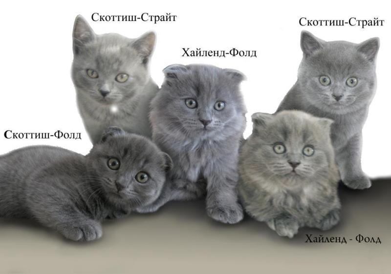 различие британских и шотландских порол кошек