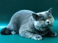 Рассмотрим виды британских кошек