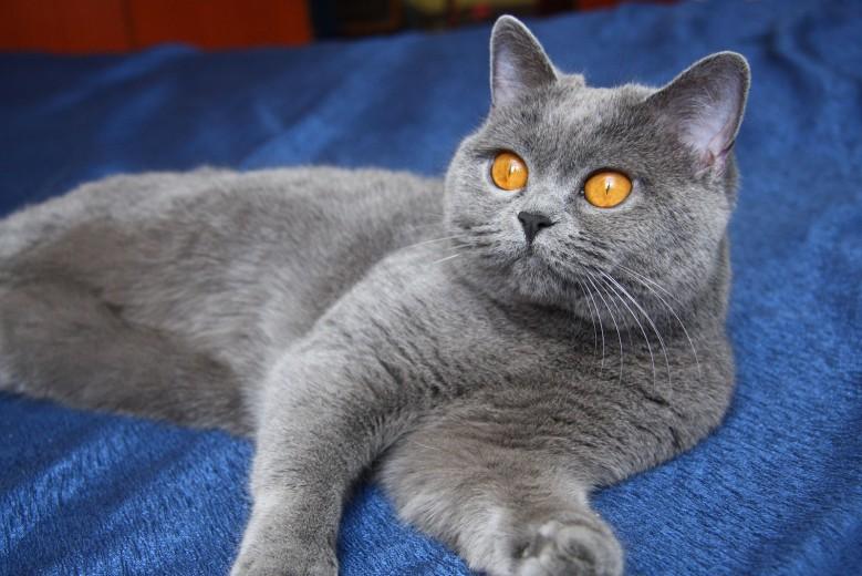 красивая британская голубая кошка