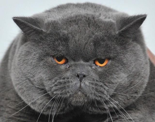 После кастрации британского кота