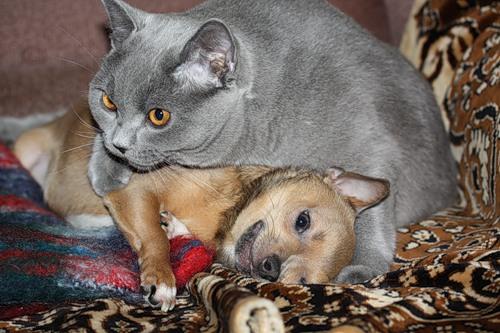 британская кошка с собакой
