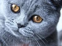 В каком возрасте кастрировать британского кота?
