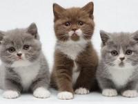 Полезные витамины для британских котят