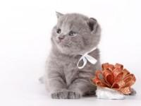 Содержание и уход за британскими котятами