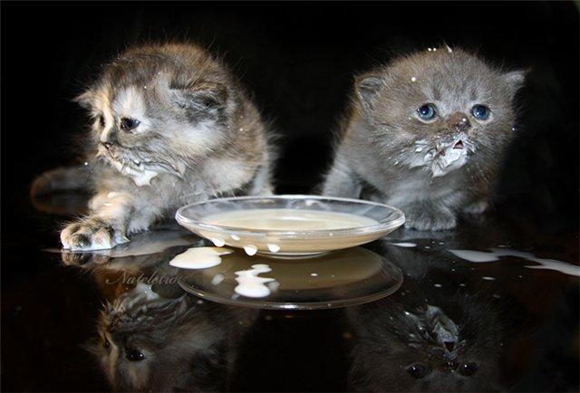 британский котенок пьет молоко