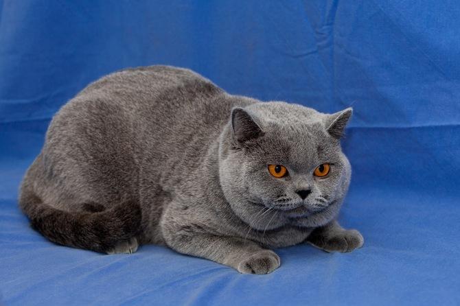 британская голубая кошка[1]