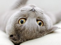 Очевидные признаки беременности у британской кошки