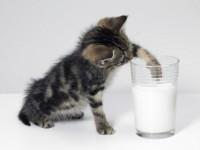 Можно ли давать молоко британским котятам?