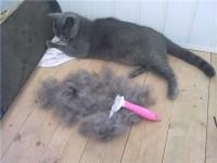 В какое время линяют британские кошки?