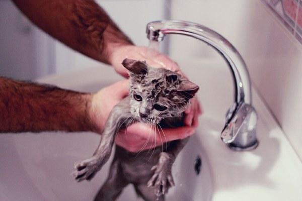 купание британского кота[1]
