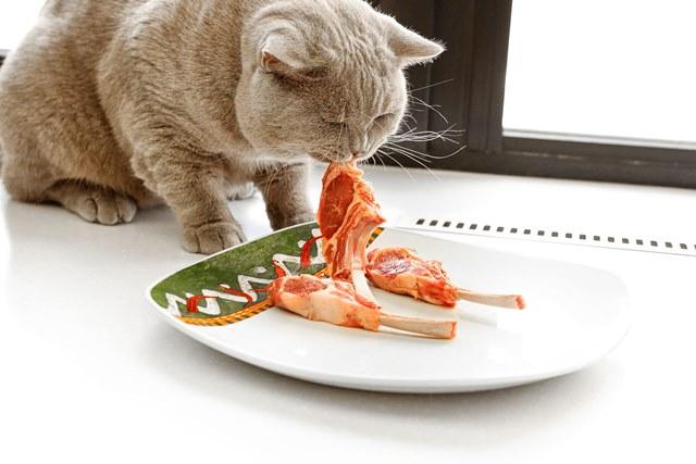 британская кошка ест мясо