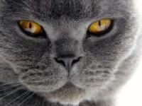 Что нужно знать об особенности британской породы кошек?