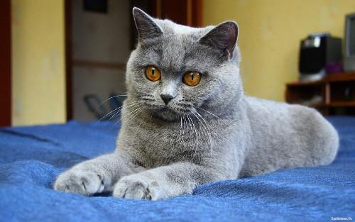плюшевая красивая британская кошка