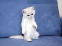 Красивые клички для британских котят мальчиков