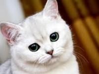 Как назвать британскую кошку девочку?