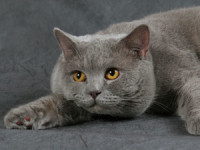 Подбираем красивое имя для британской кошки
