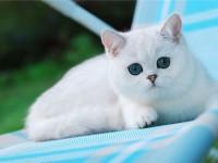 Как правильно воспитать британскую кошку?
