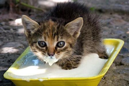 котенок ест сметану