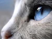 Как вылечить британского котенка у которого слезяться глаза?