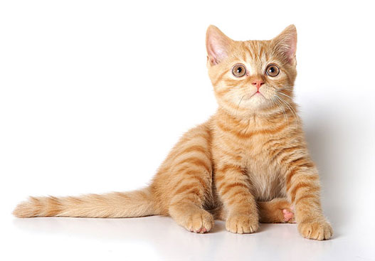 Как назвать британского котенка мальчика