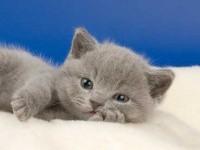 Как красиво назвать британского котенка девочку?