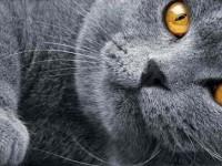Какой характер у британской короткошерстной кошки?