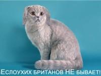 Бывают ли британские кошки вислоухими?