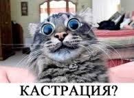 Зачем кастрировать британского кота?