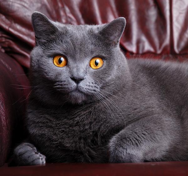 британская удивленная кошка