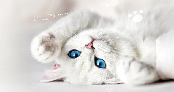 британский белый котенок