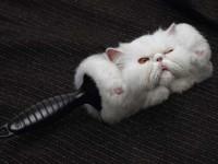 Если у британских котов линька, что делать?