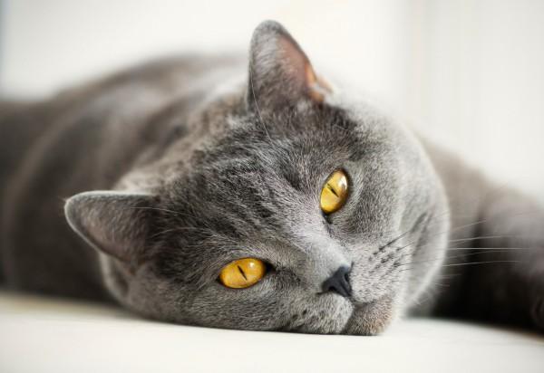 красивая британская кошка