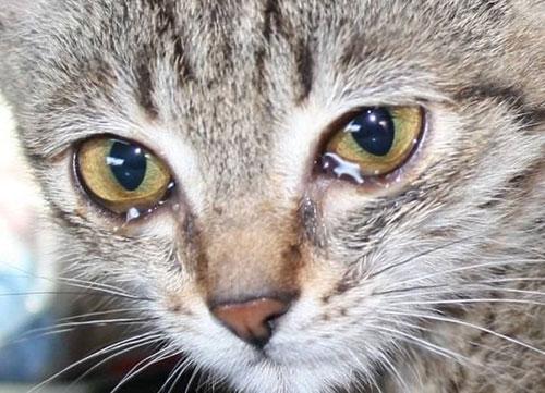 британский котенок слезятся глаза