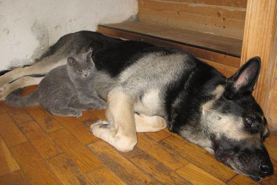 британский кот с собакой