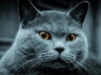 Сколько живут британские коты?