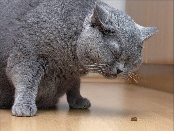 толстый британский кот