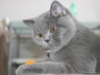Рассмотрим явные признаки у британской породы кошек