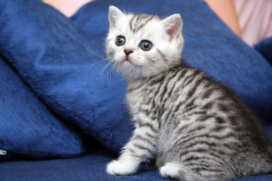 британский кот окрас вискас