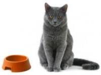 Чем лучше кормить британского кота?
