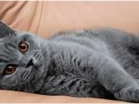 Как ухаживать за британским котом— советы заводчиков