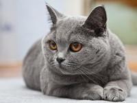 Что делать если британский кот сильно линяет?