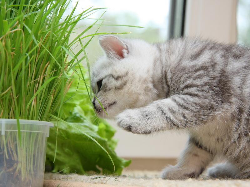 британский котенок ест траву