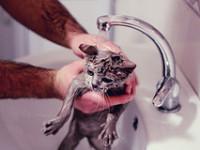 Как нужно правильно купать британского котенка?