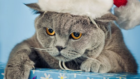 Angry-Briton-Gray-Cap-Christmas-Cat-Box-Feet-Claws-Snout-Eyes-Yellow-272x480[1]