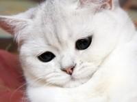 Какой бывает характер у британских кошек?
