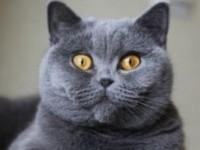 Уход за британской короткошерстной кошкой