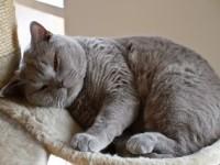 Как ухаживать за британской кошкой правильно?